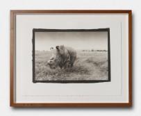 Platinum print, northern white rhino